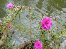 Pond with pink flowers